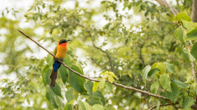 Red-chested Bee-eater